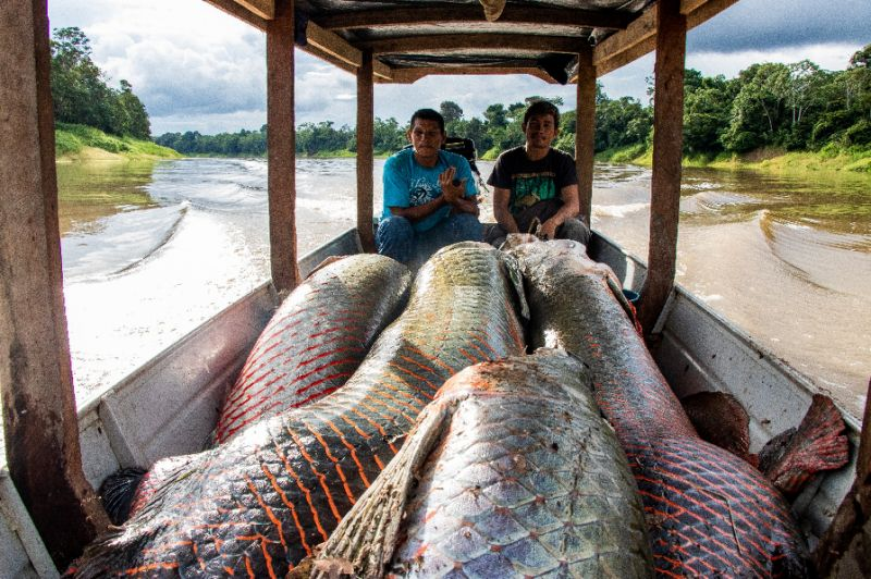 Fishermen with their haul pirarucu, a delicacy in Brazil -- the species almost disappeared from the Amazon but with a program carried out by scientists, the fish returned to abundance. Photo: AFP
