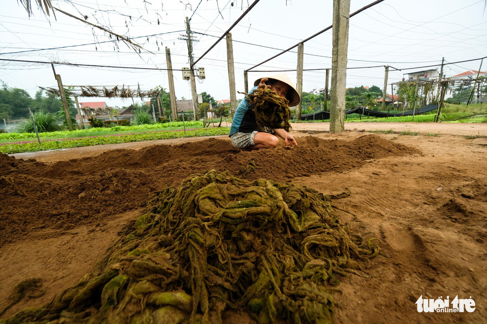 A farmer fertilizes her crop with a kind of algae found only in a lagoon surrounding Tra Que. Photo: Mai Vinh / Tuoi Tre