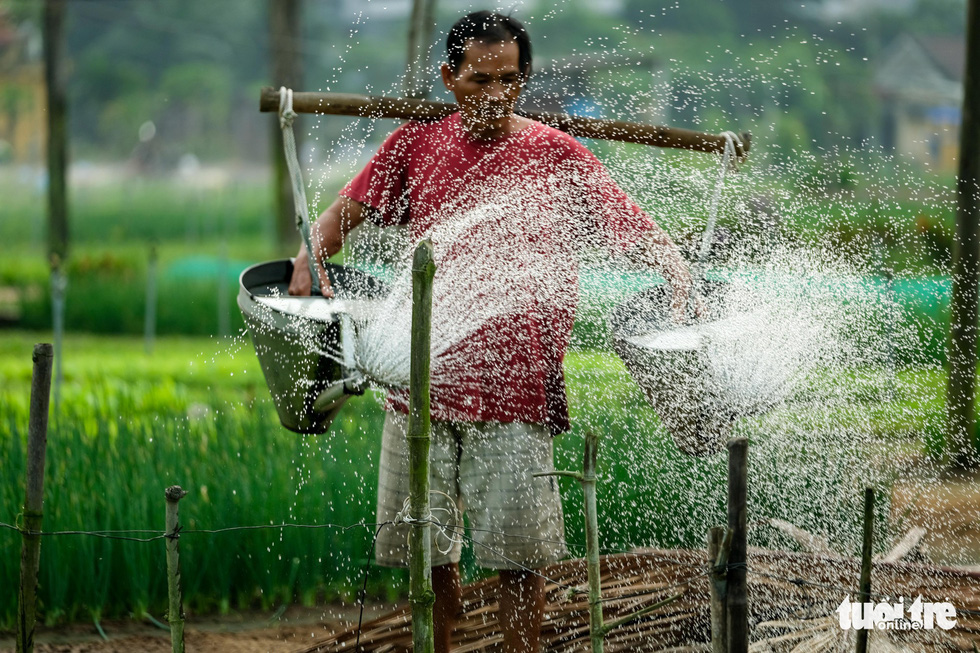A man waters his crop in Tra Que vegetable village in Hoi An, Quang Nam, central Vietnam. Photo: Mai Vinh / Tuoi Tre