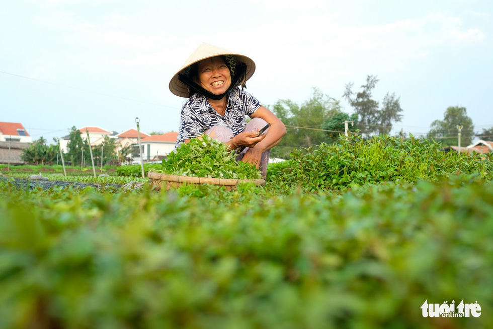 A farmer collects vegetables in Tra Que vegetable village in Hoi An, Quang Nam, central Vietnam. Photo: Mai Vinh / Tuoi Tre