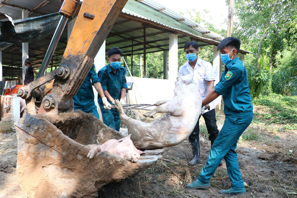 Pigs are disposed of at a husbandry facility in Phu Giao District, Binh Duong. Photo: Ba Son / Tuoi Tre