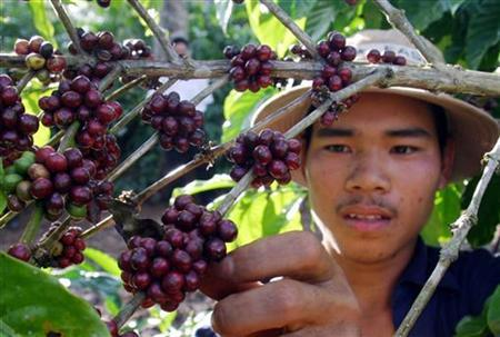 Vietnamese farmers keen on growing avocado amid low coffee prices