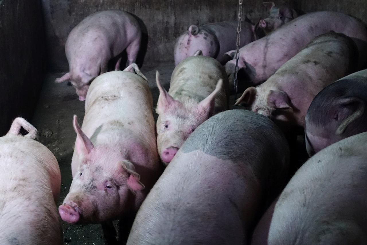 China faces long struggle to tackle African swine fever: OIE
