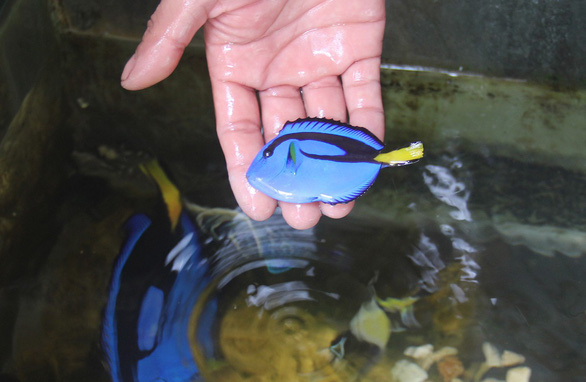 A photo of a small pet fish named Hoang De (The Emperor) in Ly Son island of central Vietnam. Photo: Tr. Mai / Tuoi Tre