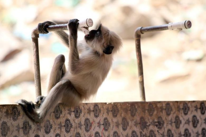 Heatstroke kills monkeys as India suffers in searing temperatures