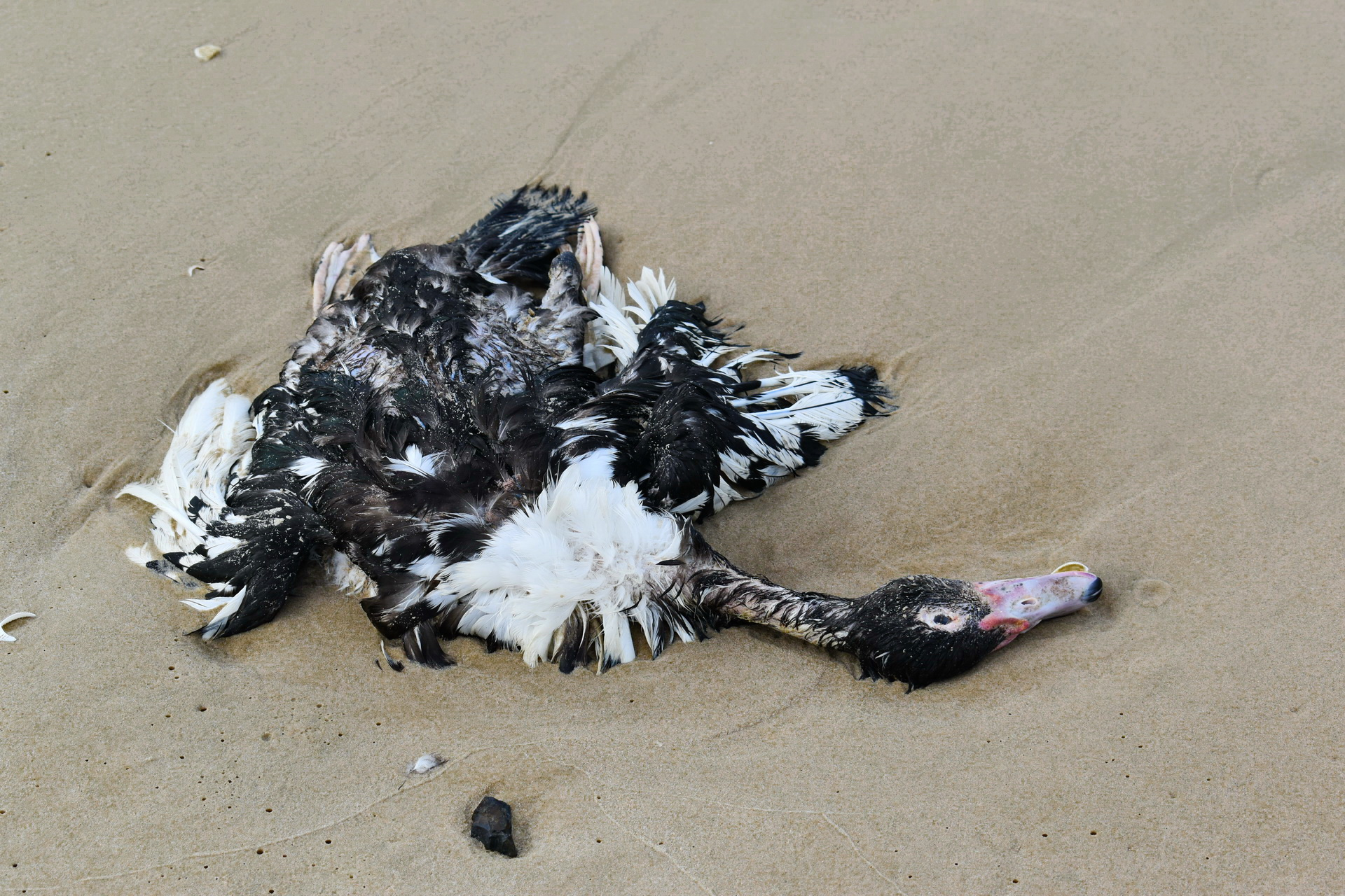 A dead bird washes up on shore at the Ke Ga Beach in Binh Thuan Province, Vietnam. Photo: Tuan Son / Tuoi Tre News