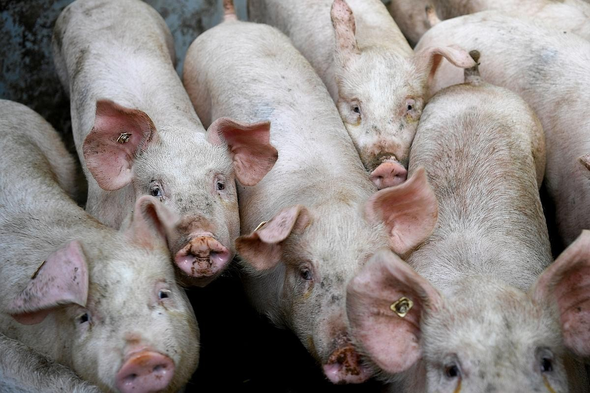 Laos confirms first cases of African swine fever: OIE