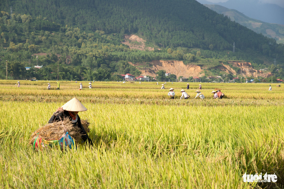 A farmer works on Muong Tac Paddy Field. Photo: Nguyen Huong / Tuoi Tre