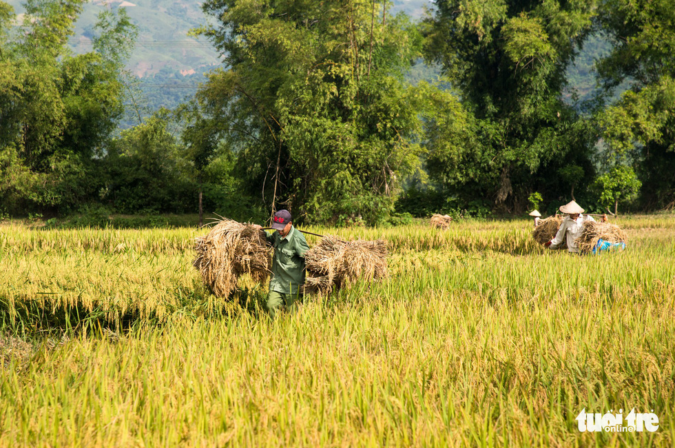 Muong Tac paddy: From low yield to biggest rice supplier of Vietnamese province