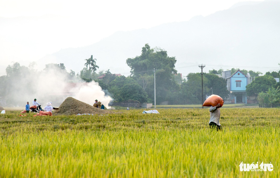 Farmers work on Muong Tac Paddy Field to collect rice grain. Photo: Nguyen Huong / Tuoi Tre