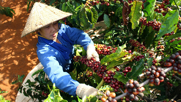 Vietnam's H1 coffee exports fall 10.6%, rice down 2.9%