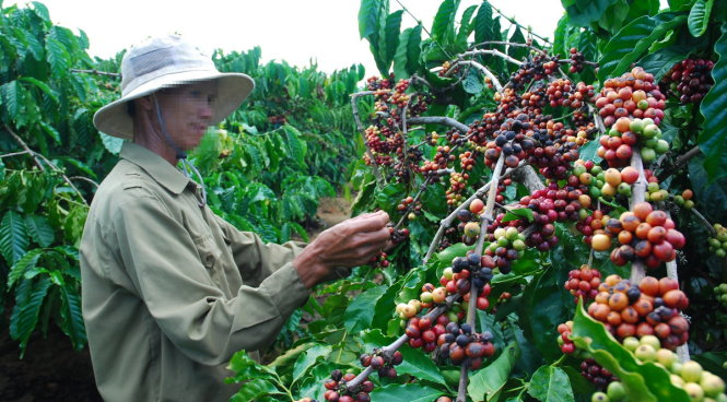 Vietnam domestic coffee prices flat as low stocks hit transactions
