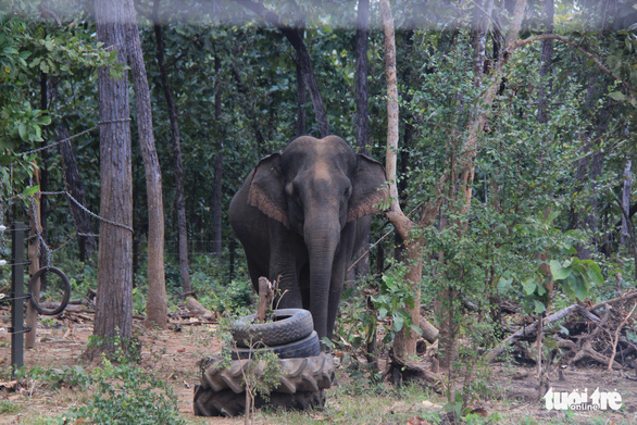 An elephant roams freely in the wild in the Central Highlands Province of Dak Lak. Photo: Trung Tan / Tuoi Tre
