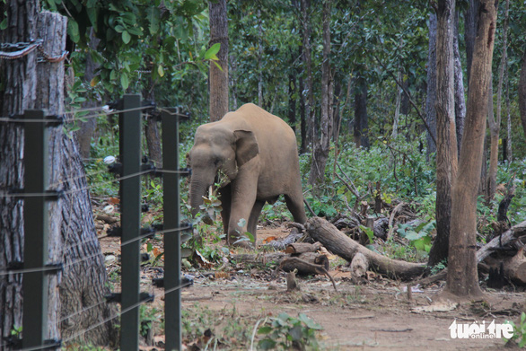 An elephant taken care by the Dak Lak Elephant Conservation Center roams freely in the wild. Photo: V.T / Tuoi Tre
