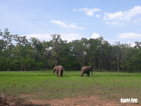 Two elephants roam freely in Yok Don National Park, the Central Highlands Province of Dak Lak. Photo: V.T / Tuoi Tre