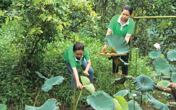 <em>Volunteers harvest lotus leaves for community tourism households to wrap food in Con Son, Can Tho, southern Vietnam. Photo: </em>Tuoi Tre