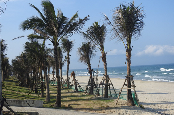 Coconut trees are plant on public beach at a project in the central city of Da Nang. Photo: V. Hung / Tuoi Tre