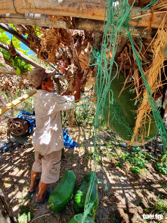 A farmer ties a net to support a giant winter melon in Chanh Trach Village, My Tho Commune, Phu My District, in the south-central province of Binh Dinh. Photo: Ngoc Diep / Tuoi Tre