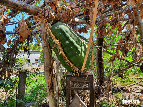 <em>A giant winter melon supported by a wooden chair in Chanh Trach Village, My Tho Commune, Phu My District, Binh Dinh Province. Photo:</em> Ngoc Diep / Tuoi Tre