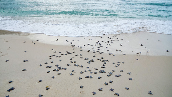 Conservation project for sea turtles during hatching season launched on Vietnam island
