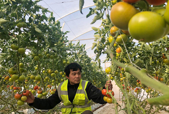A Vietnamese man picks tomatoes on a farm in Melbourne, Australia. Photo: A. D. / Tuoi Tre