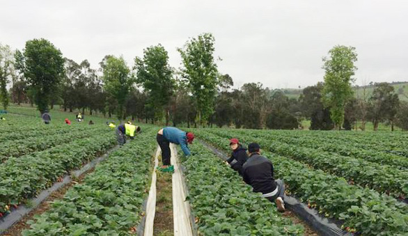 Vietnamese farmers find success in farming in Australia