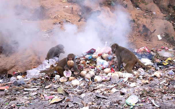 Wild monkeys search for food at a garbage dump in Son Tra Peninsula, central Vietnam. Photo: Truong Trung / Tuoi Tre