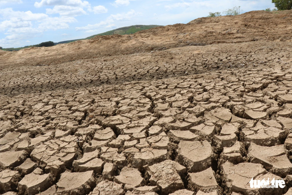 A paddy field has dried out due to the drought. Photo: L.Dan / Tuoi Tre