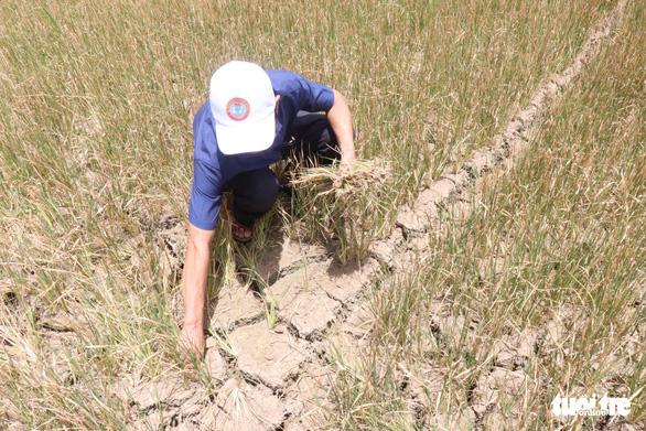 A farmer removes dead crops from his paddy field. Photo: L.Dan / Tuoi Tre
