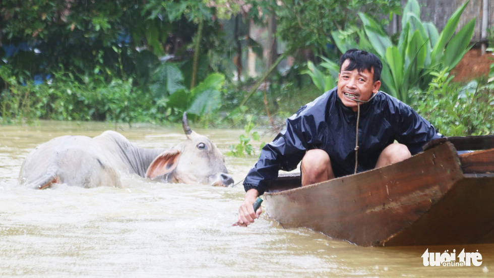 A man saves his cow from a flooded area. Photo: Doan Hoa / Tuoi Tre