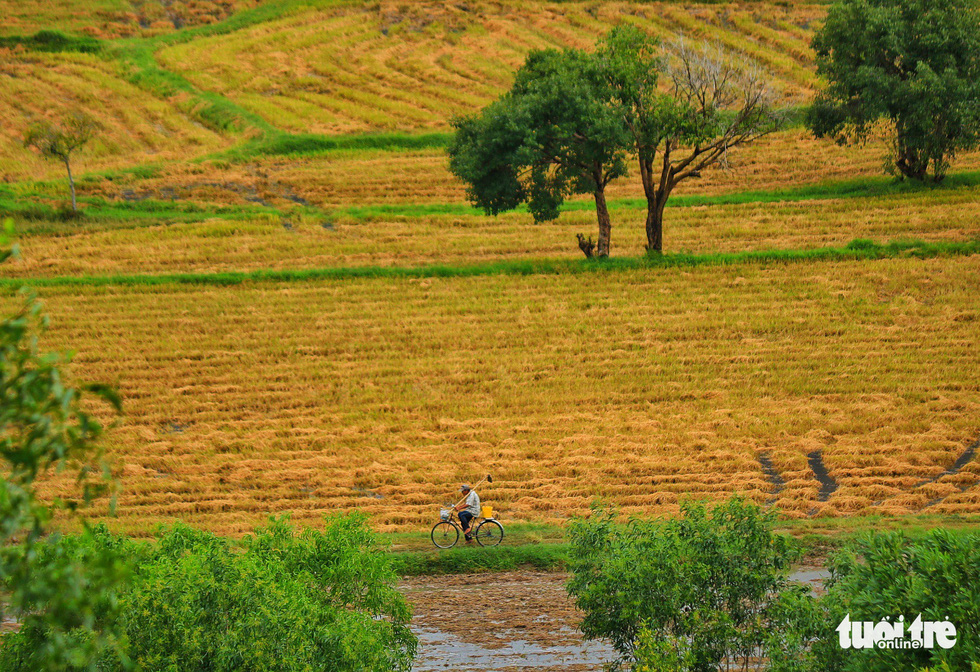 Old, new paddies make peaceful scenery of yellow and green in Vietnam's Mekong Delta