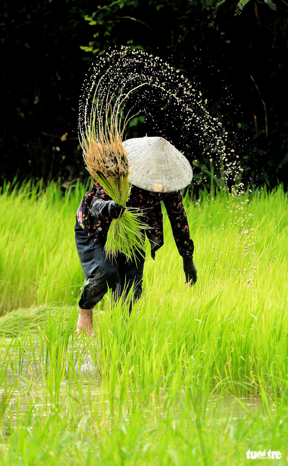 A woman plucks a bunch of young rice in a paddy field in Tri Ton District, An Giang Province, southern Vietnam. Photo: Nguyet Nhi / Tuoi Tre