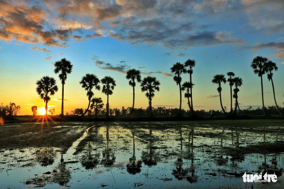 Sun rises behind a row of palm trees in a paddy field in Tri Ton District, An Giang Province, southern Vietnam. Photo: Nguyet Nhi / Tuoi Tre
