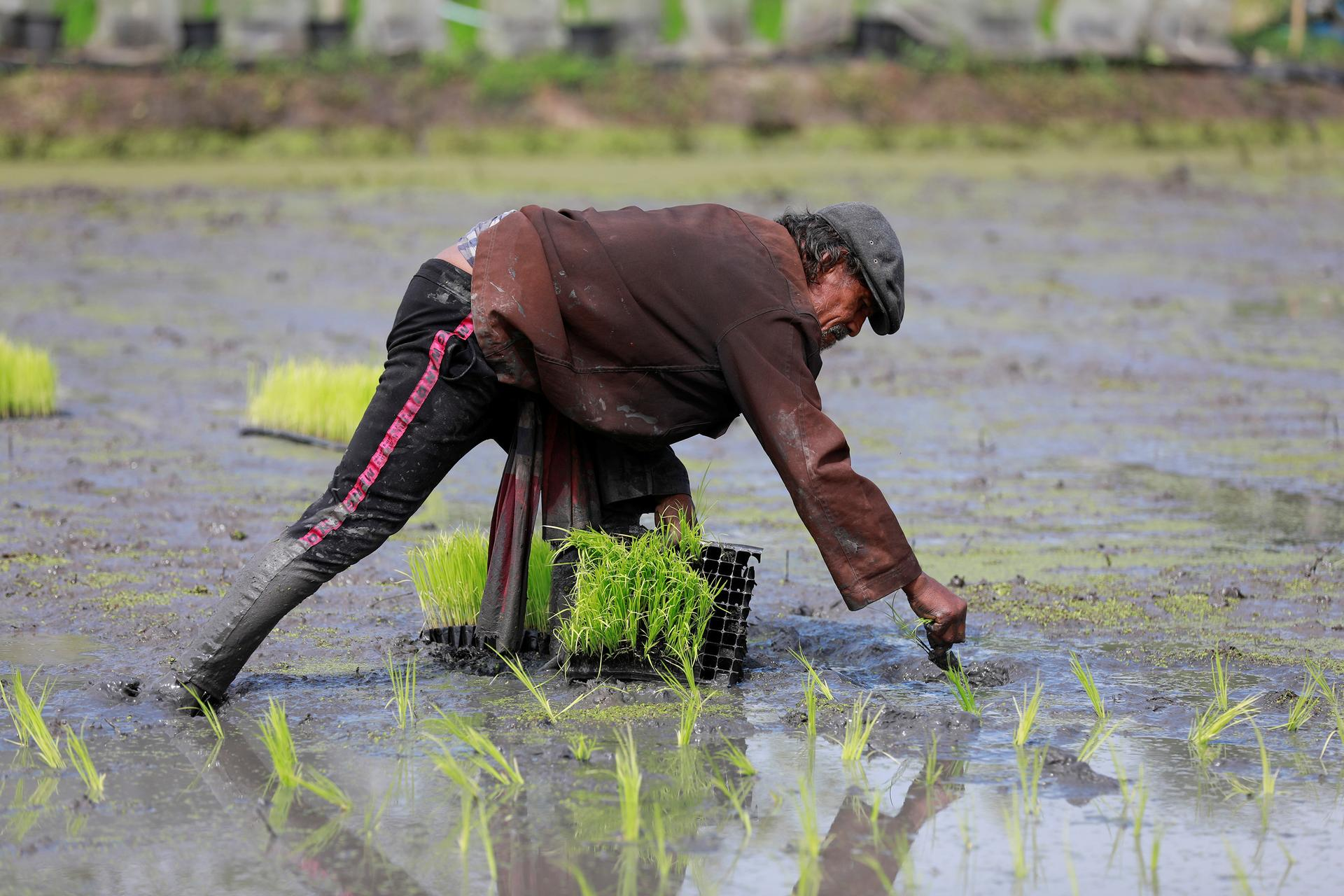 Asia Rice-Firm rupee lifts Indian rates; Vietnam prices hold near 12-year low