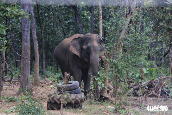 GPS tracking proposed for wild elephants in Vietnam's Central Highlands
