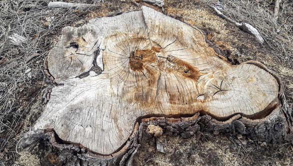 One of the chopped poplars. Photo: Oai Ngoc / Tuoi Tre