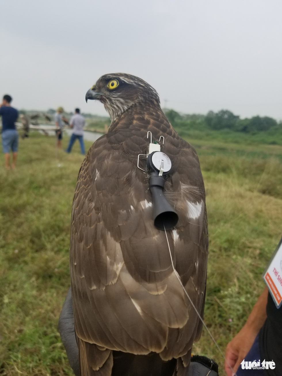 An electronic bell is attached to a raptor to locate its position in the air at the 5th Northern Vietnam Birds of Prey Contest in Hanoi, October 27, 2019. Photo: Ha Thanh / Tuoi Tre