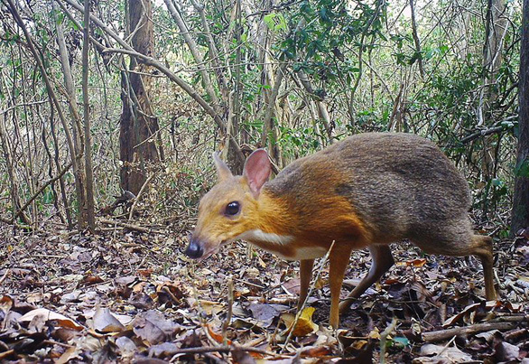 Mouse deer feared extinct spotted in Vietnam after 30 years