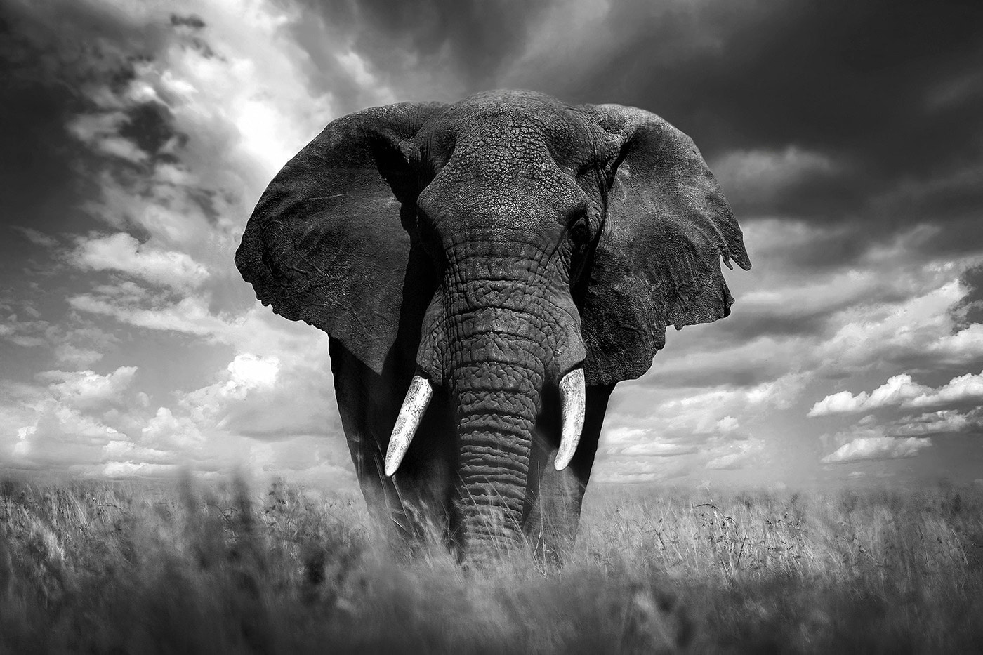 An African elephant in Kenya. Photo: Bjorn Persson