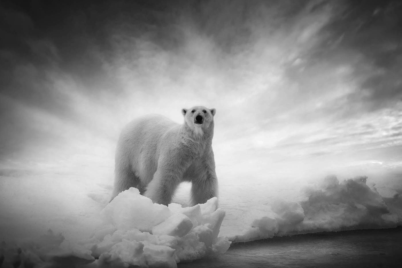 A polar bear. Photo: Bjorn Persson