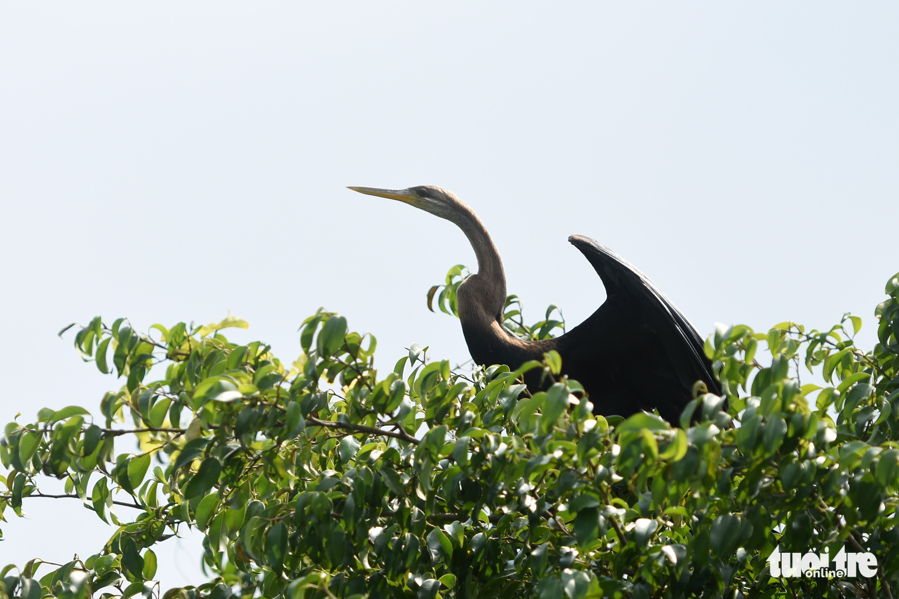 Rare snakebirds spotted in southern Vietnamese province