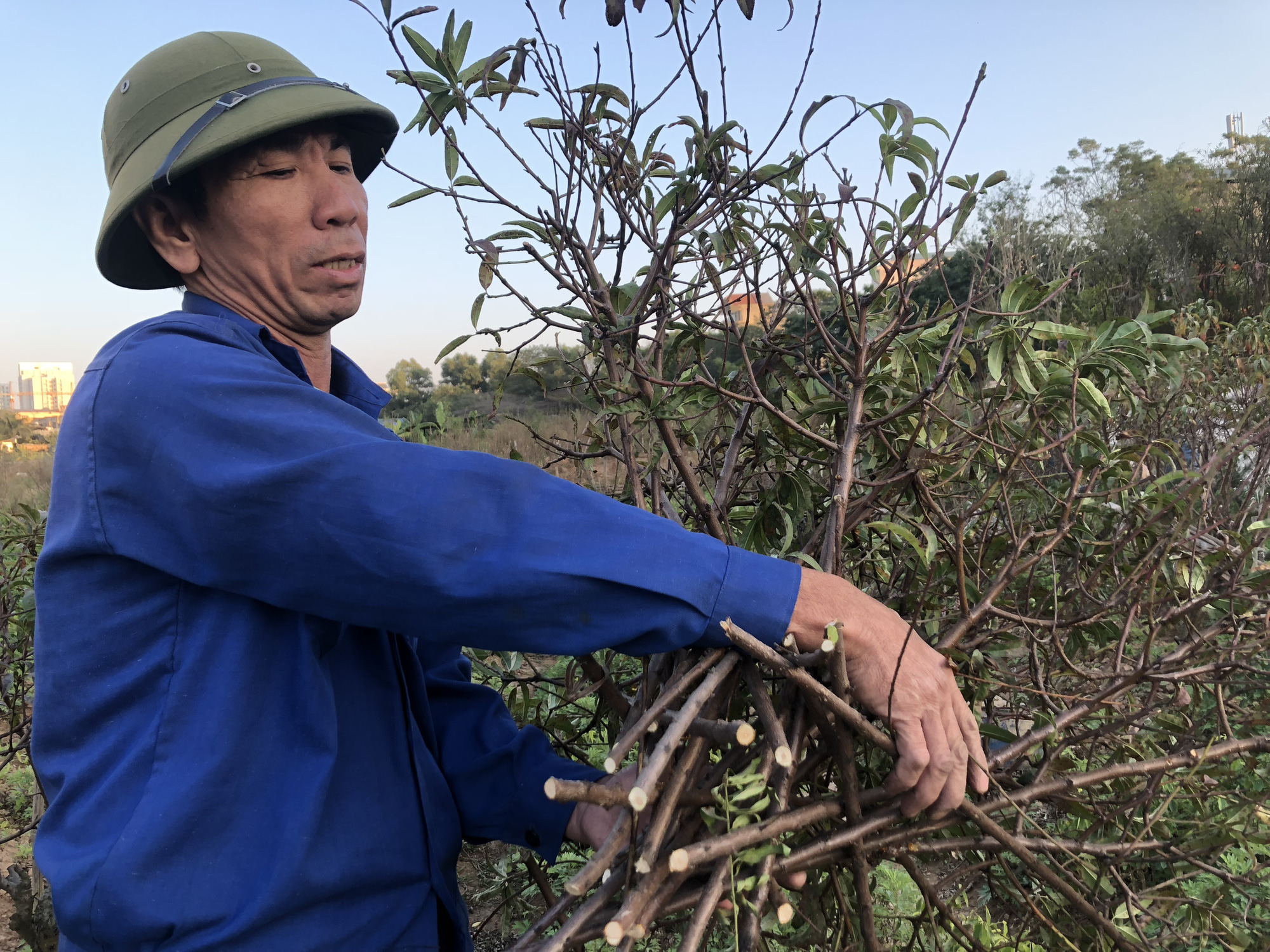 A farmer cleans up dead peach blossom trees. Photo: Quang The / Tuoi Tre