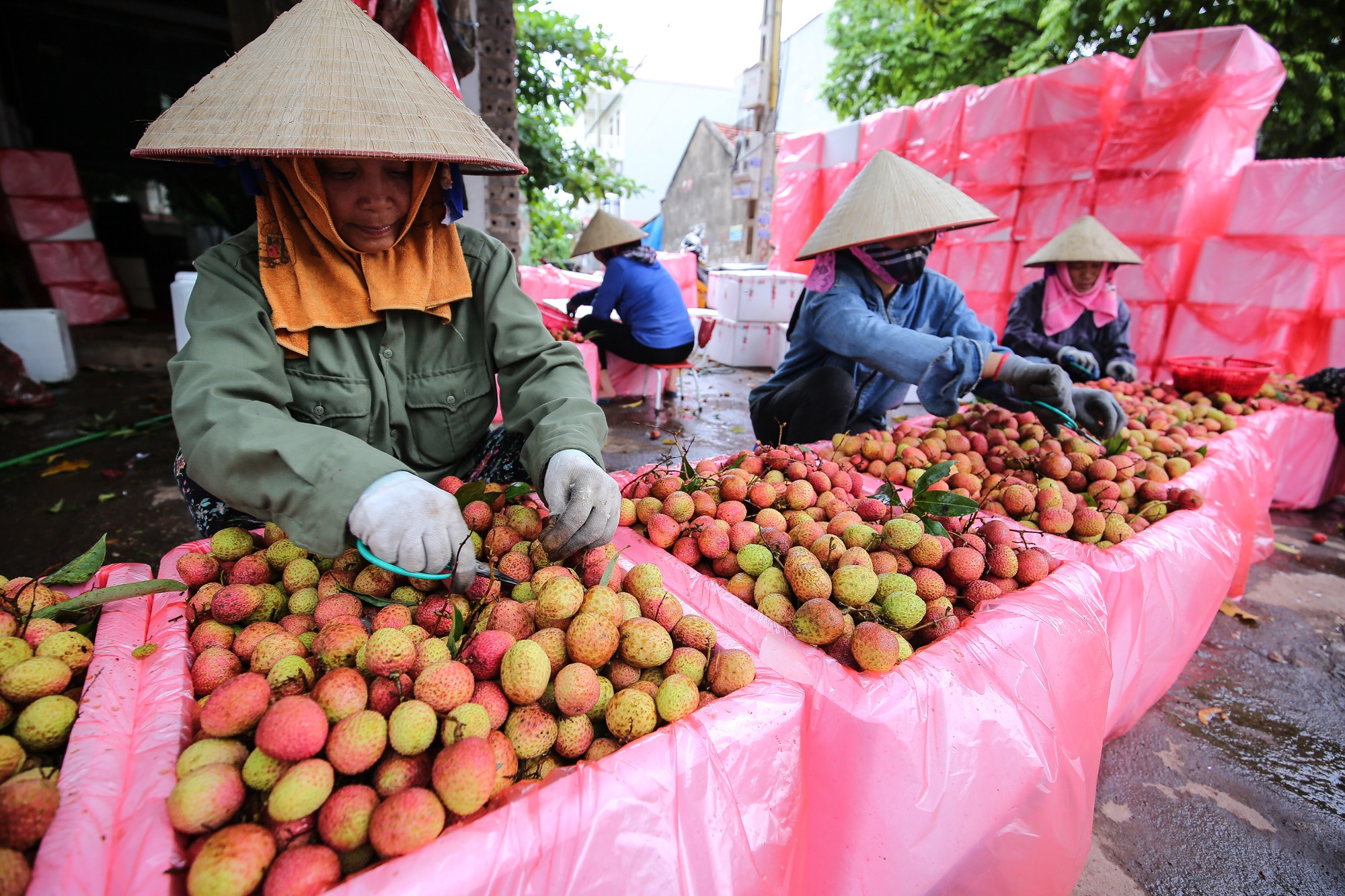 Vietnam to export fresh lychee to Japan after five years of negotiation