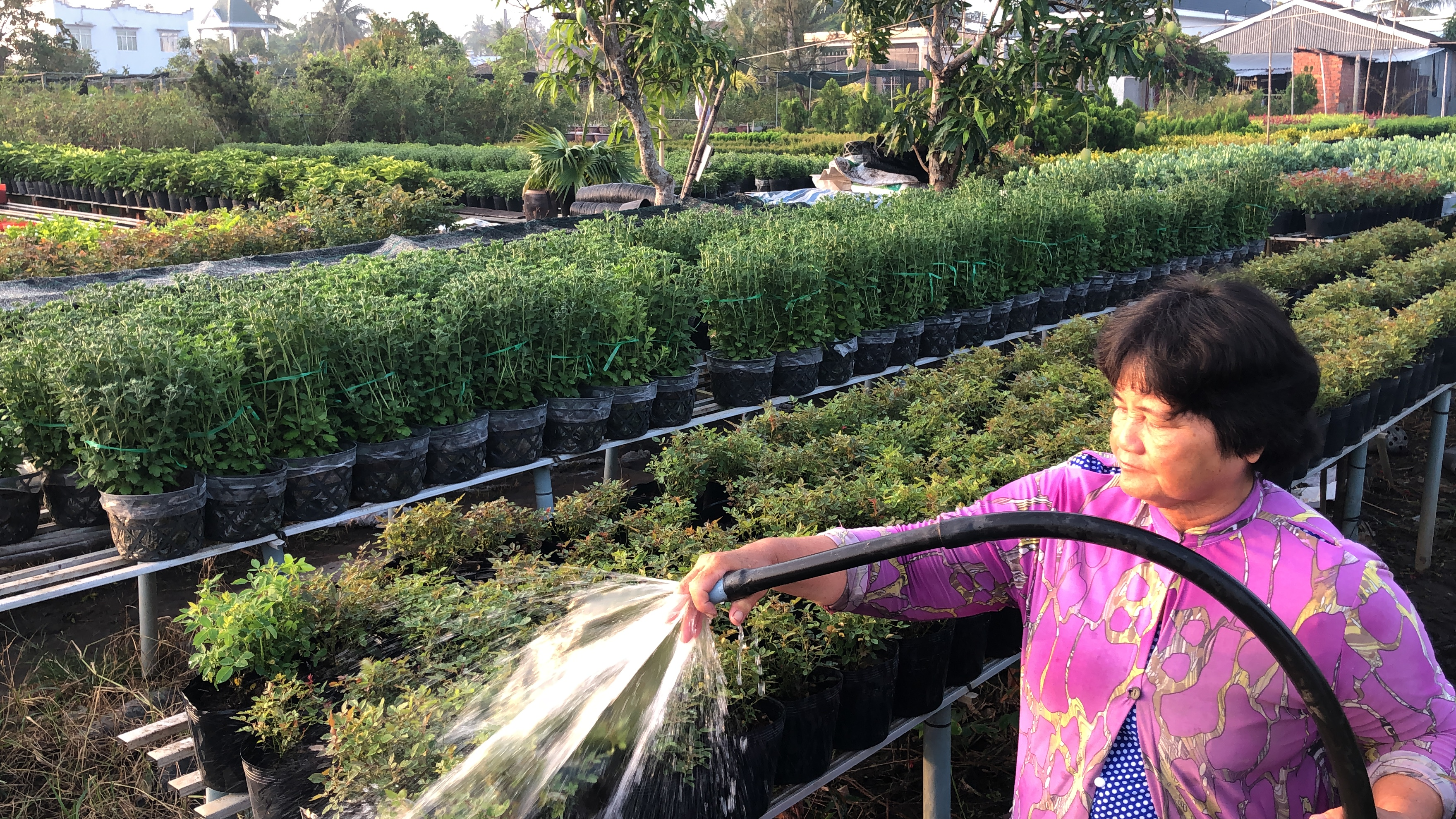 A villager waters her the plants at the Tan Quy Dong flower neighborhood in Sa Dec City, Dong Thap Province, southern Vietnam. Photo: Hong Van