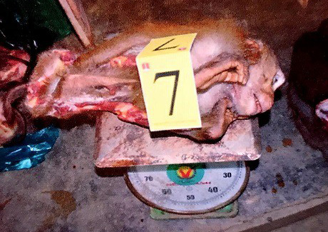 A pig-tailed macaque is found in a freezer at an establishment in Lam Dong Province, Vietnam. Photo: L.D. / Tuoi Tre