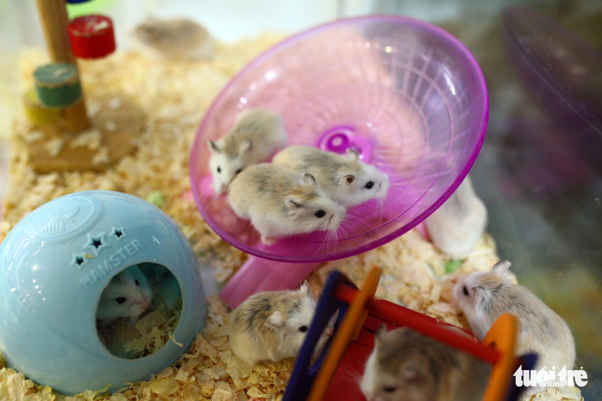 Three hamsters on a running wheel at a pet shop in Hanoi. Photo: Mai Thuong / Tuoi Tre