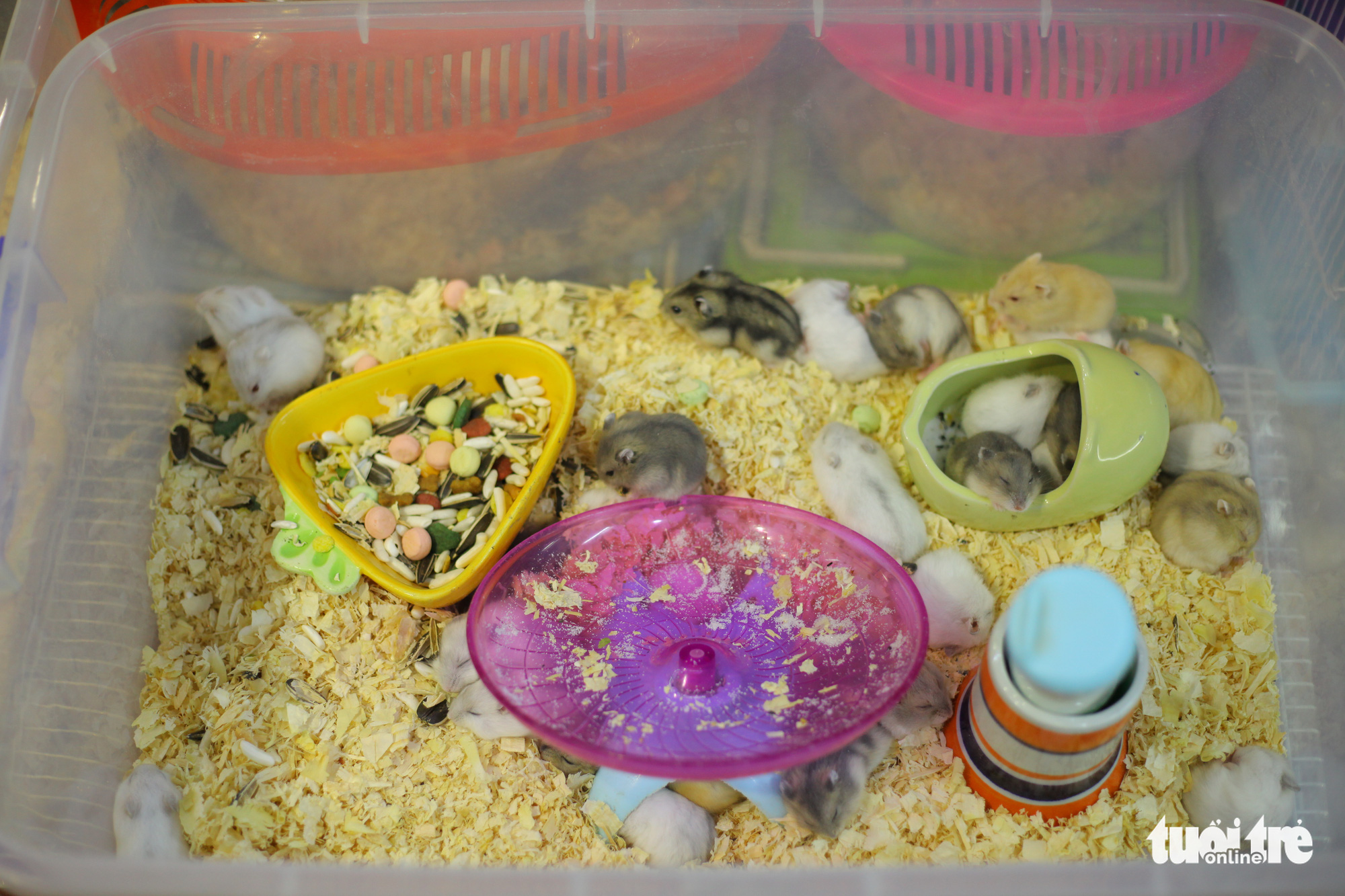 A container full of hamsters for sale are seen at a pet shop in Hanoi. Photo: Mai Thuong / Tuoi Tre