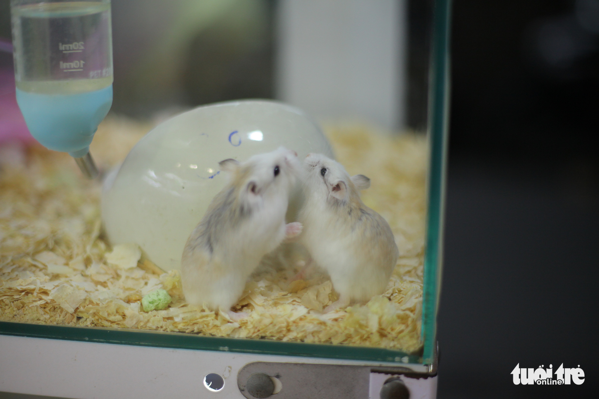 Two hamsters are seen at a pet shop in Hanoi. Photo: Mai Thuong / Tuoi Tre