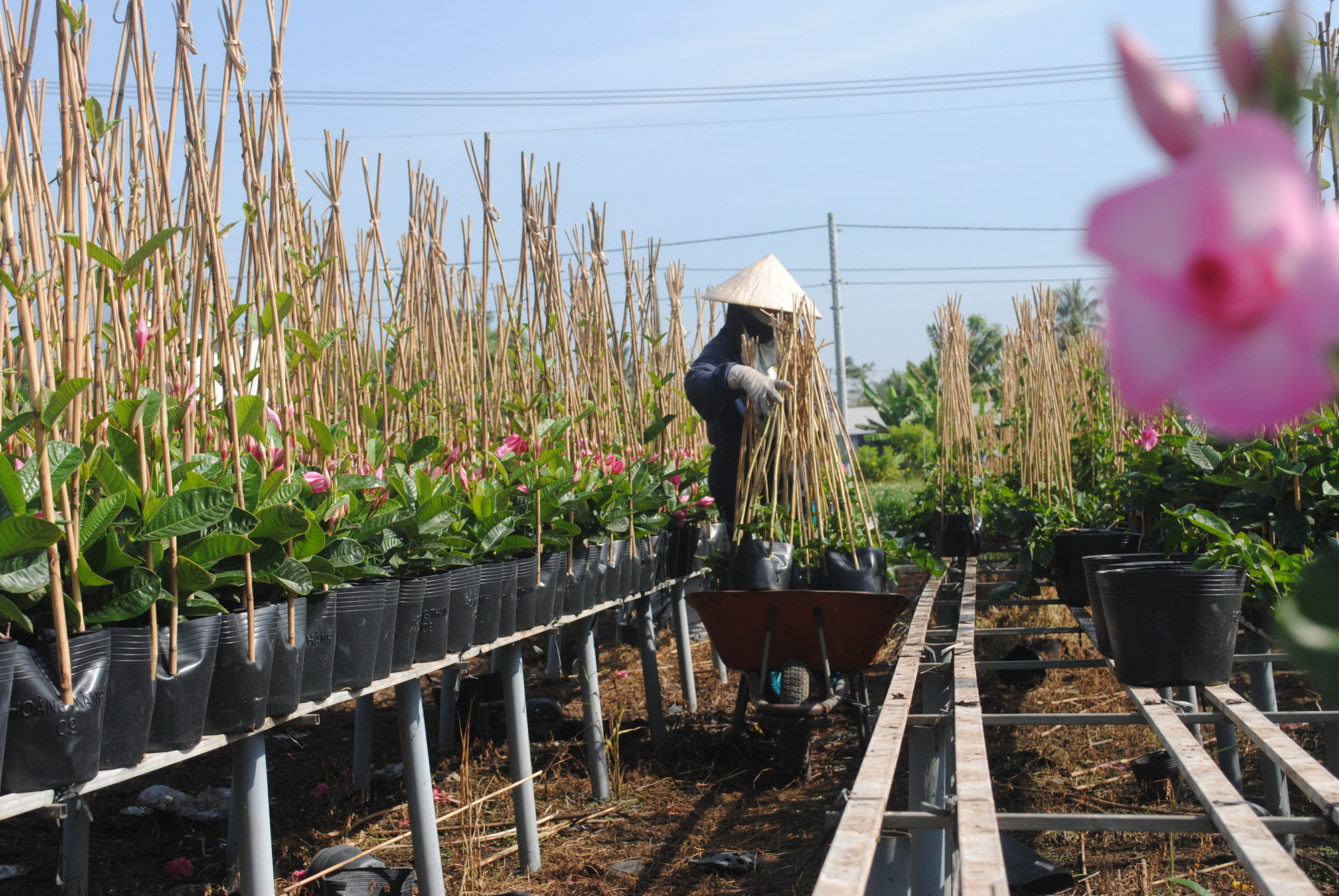 A woman harvests flowers at Sa Dec Flower Village. Photo: Thanh Nhon / Tuoi Tre
