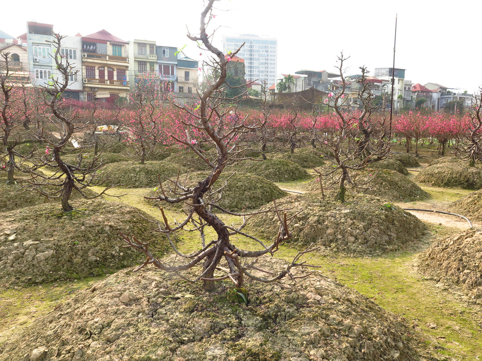 Early-blooming peach blossom trees are chopped off in Nhat Tan Ward, Tay Ho District, Hanoi on January 16, 2020. Photo: Q.TH. / Tuoi Tre